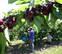 La producción de cereza de Milagro será similar a los 400.000 kg de 2016