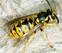 Tipos de picaduras de avispas y abejas: reacciones y recomendaciones
