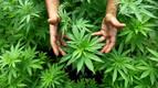 Sube el consumo de cannabis en España y se estabiliza o baja el del resto de drogas