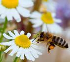 Día Mundial de las abejas, que polinizan una tercera parte de lo que comemos