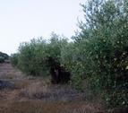 Larraga estudia redactar una norma para proteger los olivares