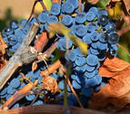 El cambio climático podría quitar color y acidez al vino de Rioja