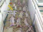 Matan a 70 lechones saltando sobre ellos y lo difunden por Whatsapp