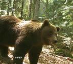 Los osos del Pirineo de Lleida despiertan de la hibernación