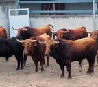 Los toros de Pedraza de Yeltes debutan en los Corrales del Gas