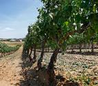 La cosecha de DO Navarra prevé 75 millones de kilos de uva, un 9% menos