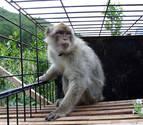 Gibraltar blinda a sus monos ante la amenaza de sacrificios masivos