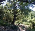 Los bosques de hayas y pinos crecen más porque no compiten por el agua