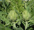 La campaña de la alcachofa finaliza con un aumento de un 5% de la producción