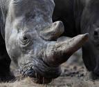 Piden que el veto chino al uso de cuerno rinoceronte y de hueso tigre sea permanente