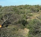 Talan varios pinares de Tudela para recuperar el hábitat estepario