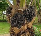 El aceite de una planta tropical