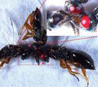 Avispas mutantes con ojos rojos para estudiar el ADN de los insectos parásitos