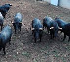 Los toros de José Escolar se encuentran ya en los corrales del Gas de Pamplona