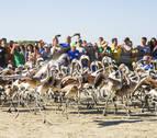 Anilladas 600 crías de flamenco en la reserva malagueña de Fuente de Piedra