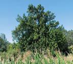 El Roble de Santa Isabel, un árbol de río