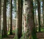 Medio Ambiente organiza una salida para conocer los árboles trasmochos de Leitza