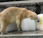 El oso polar que vive pegado a un bloque de hielo en el zoo de Budapest para soportar el calor