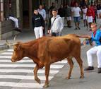 Novillos vespertinos y vacas por la mañana en la recta final de Estella