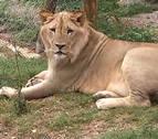 Vivir con un león en casa