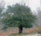 Un tejo en plena Sierra de Urbasa