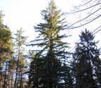 Una sequoya rodeada por las aguas