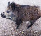 El cerdolí irrumpe en el campo navarro