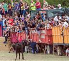 Pocos sustos en la 'traída' de las vacas en Cintruénigo