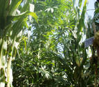 La pintoresca excusa de un sancionado por cultivar marihuana en Navarra