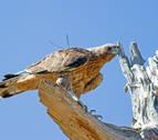 El proyecto de recuperación del águila de Bonelli concluye con un seminario en Sangüesa