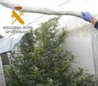 Detenido por cultivar marihuana en una vivienda de Caparroso