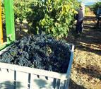 Comienza la vendimia en Navarra con una previsión de 65 millones de kilos de uva