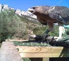 27 águilas perdiceras han sido criadas y liberadas en Navarra desde el año 2011