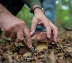 Navarra resiste la sequía que frena la producción de setas en el país