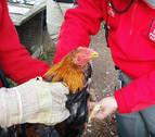 Imputados por maltrato animal dos jóvenes de Tudela que organizaban peleas de gallos