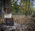 Pamplona protegerá los árboles más grandes contra los castores