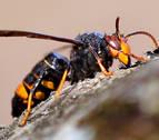 Medio Ambiente lanza una serie de consejos ante la presencia del avispón asiático a Navarra