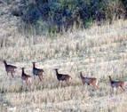 Abatidos 22 muflones en la Valdorba dentro del plan de erradicación de esta especie