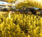 Detenido por cultivar 1.312 plantas de marihuana en un garaje de Gorráiz