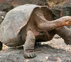 Nacen, tras un siglo, tortugas en una isla de Galápagos al eliminar a las ratas