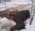 Unos jóvenes no logran salvar a una yegua atrapada en un paso canadiense en Lekaroz