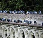 Águilas y halcones contra las palomas en la Plaza del Castillo