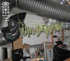 Imputado en Berbinzana un vecino de Bilbao por cultivo de marihuana