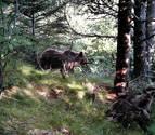 EHNE avisa de la preocupación de ganaderos por la suelta de dos osas en el Pirineo