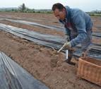 La campaña del espárrago arranca con más hectáreas y casi un mes de retraso