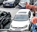 Un buey se pasea por las calles de Llodio y siembra el pánico por una hora