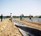 Mercadona compra 6.000 kilos de espárrago con IGP Navarra