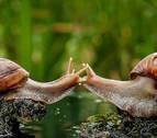 Se consigue el primer trasplante de memoria entre dos caracoles