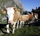 Las vacas uruguayas que alimentaron al mundo durante las Guerras Mundiales
