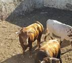 Los 'cebadita' y los Fuente Ymbro ya están en Pamplona